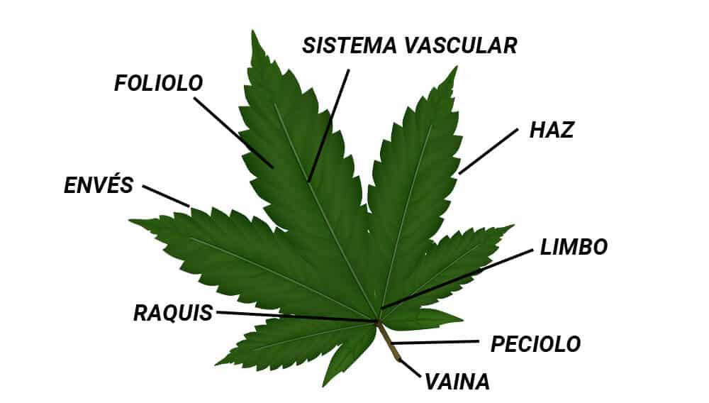 Hoja de marihuana y su uso
